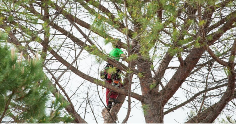 Emondage Sherbrooke climber working at height in a pine tree.